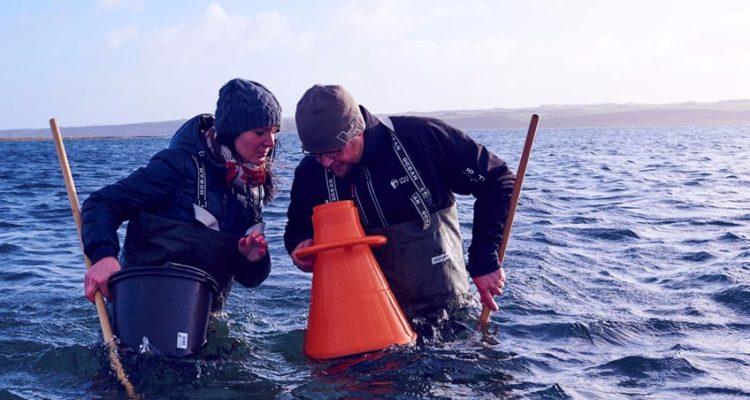 find østers i limfjorden